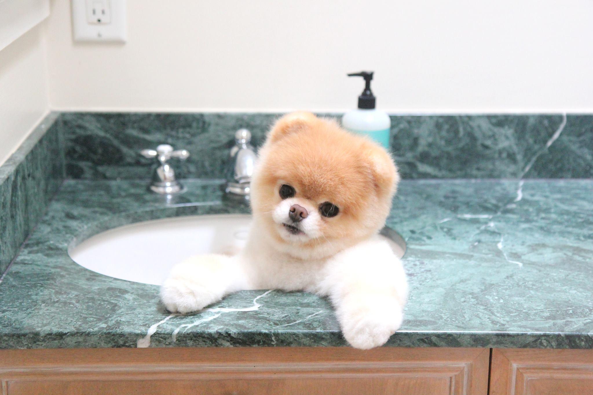 Beliebt Boo : L'histoire du chien le plus mignon au monde - YZGeneration BQ36