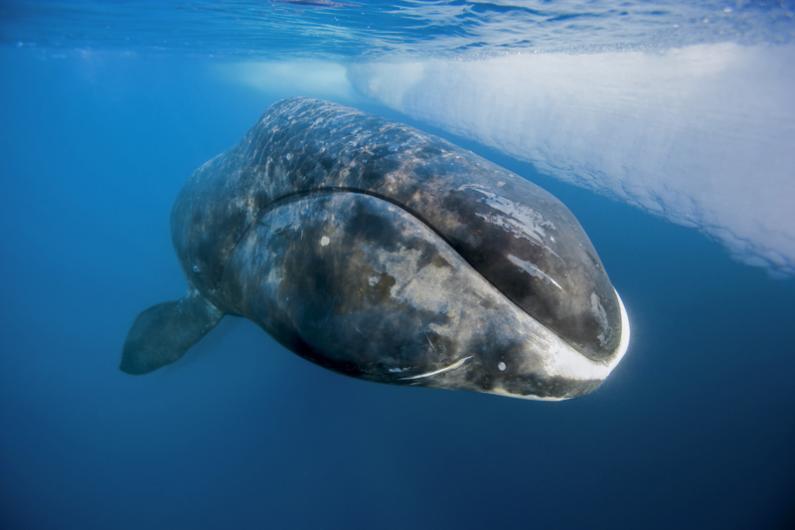 Baleine Borréale