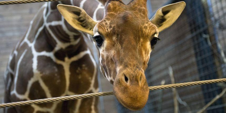 Marius-Girafon