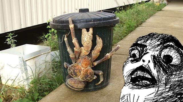 juste un crabe de cocotier aper u dans les rues de hawa yzgeneration. Black Bedroom Furniture Sets. Home Design Ideas