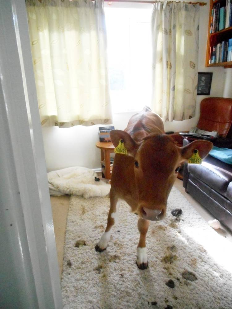 Vaches-Maison-Caca-Guernsey-2