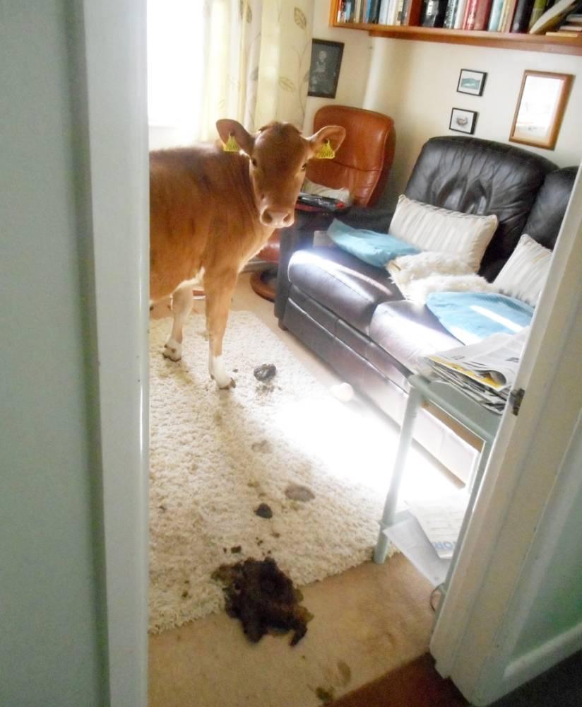 Vaches-Maison-Caca-Guernsey-3
