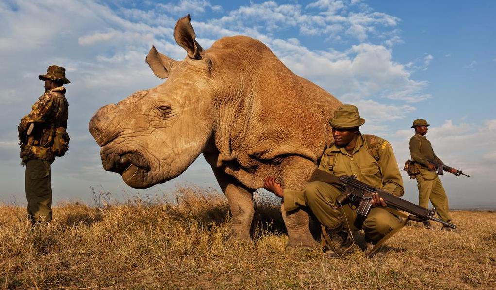 Sudan-Dernier-Rhinoceros-Blanc-1