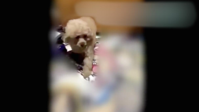Maltraitance-Chien-Japon-Video-1