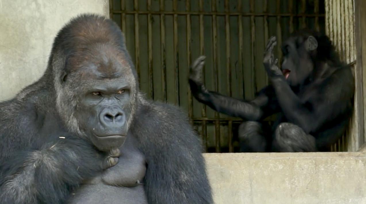 Shabani-Gorille-Japon-1