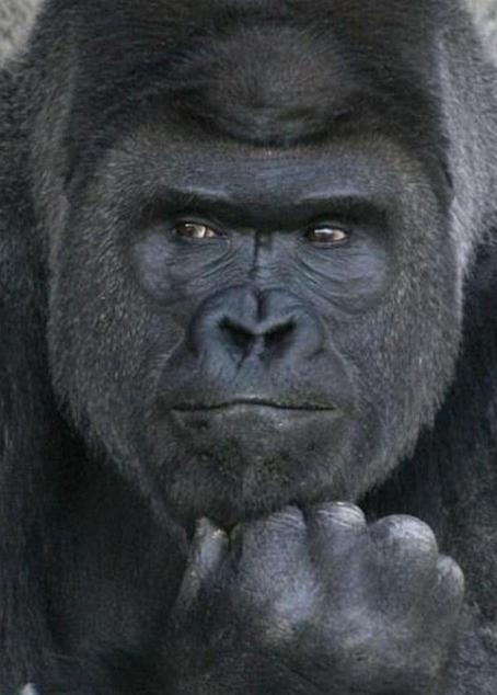 Shabani-Gorille-Japon-3
