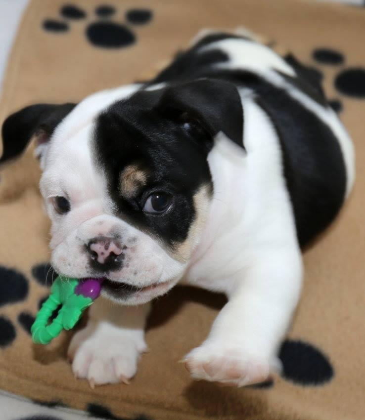 Bonsai-Bulldog-5