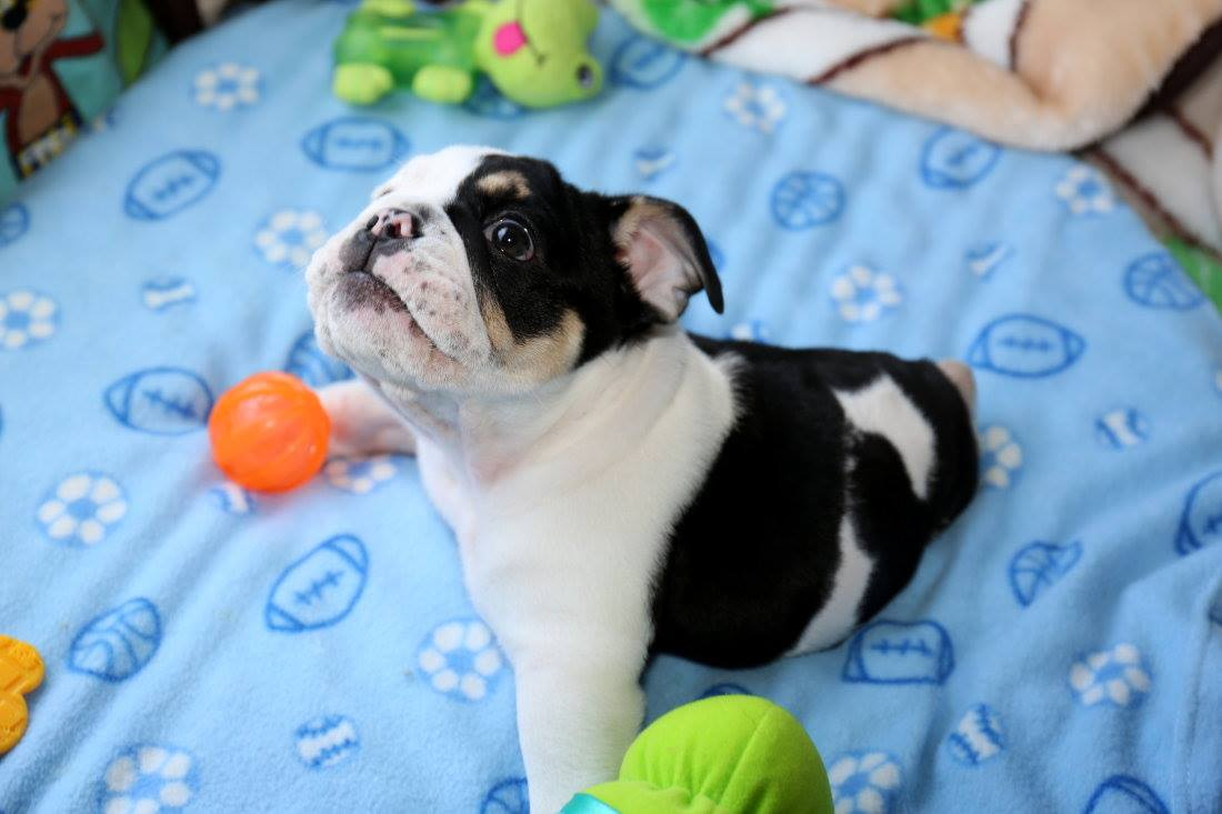 Bonsai-Bulldog-6
