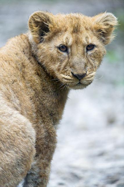 Cecil-Lionceaux-1