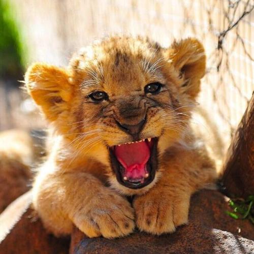 Cecil-Lionceaux-2