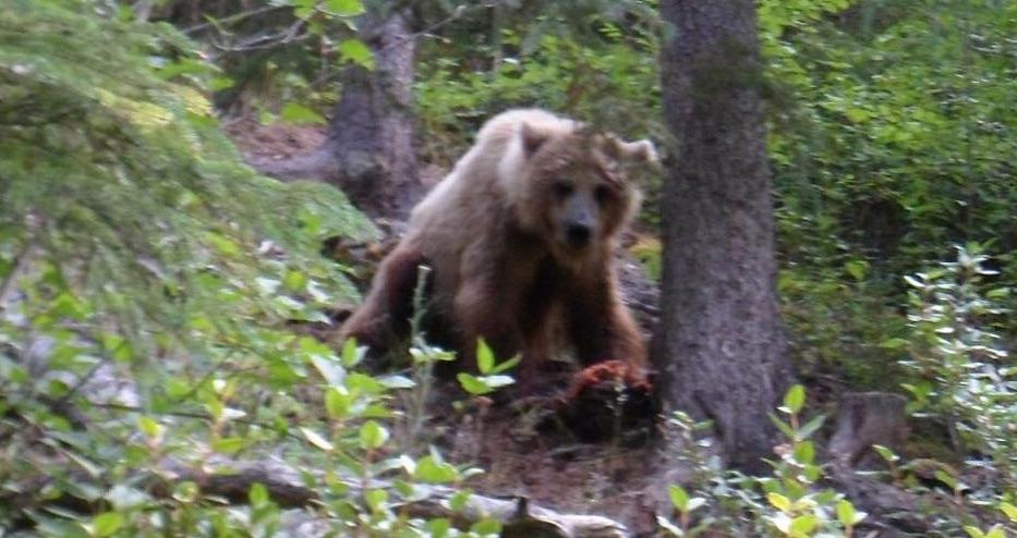 Rencontre-Grizzli-Alaska-Cover