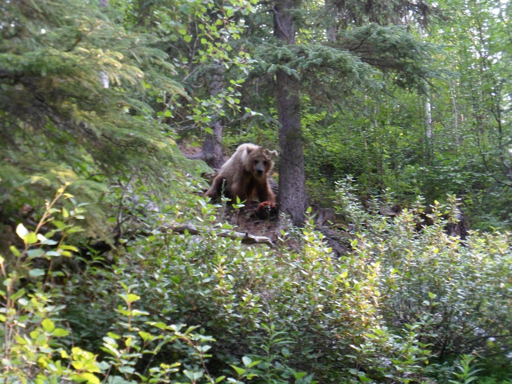 Rencontre-Grizzli-Alaska