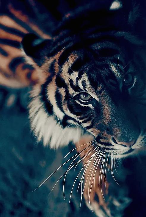 Tigres-Bengale-2