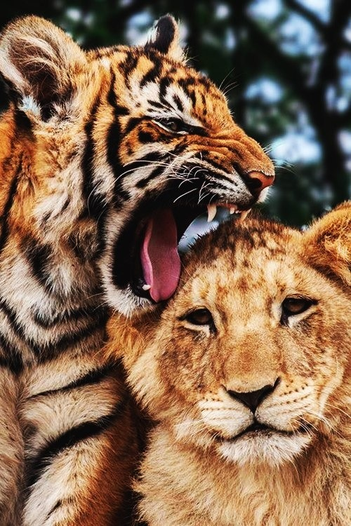 Tigres-Bengale-3