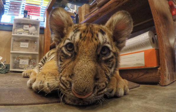 Bebe-Tigre-Abandon-Degriffe-Californie-1