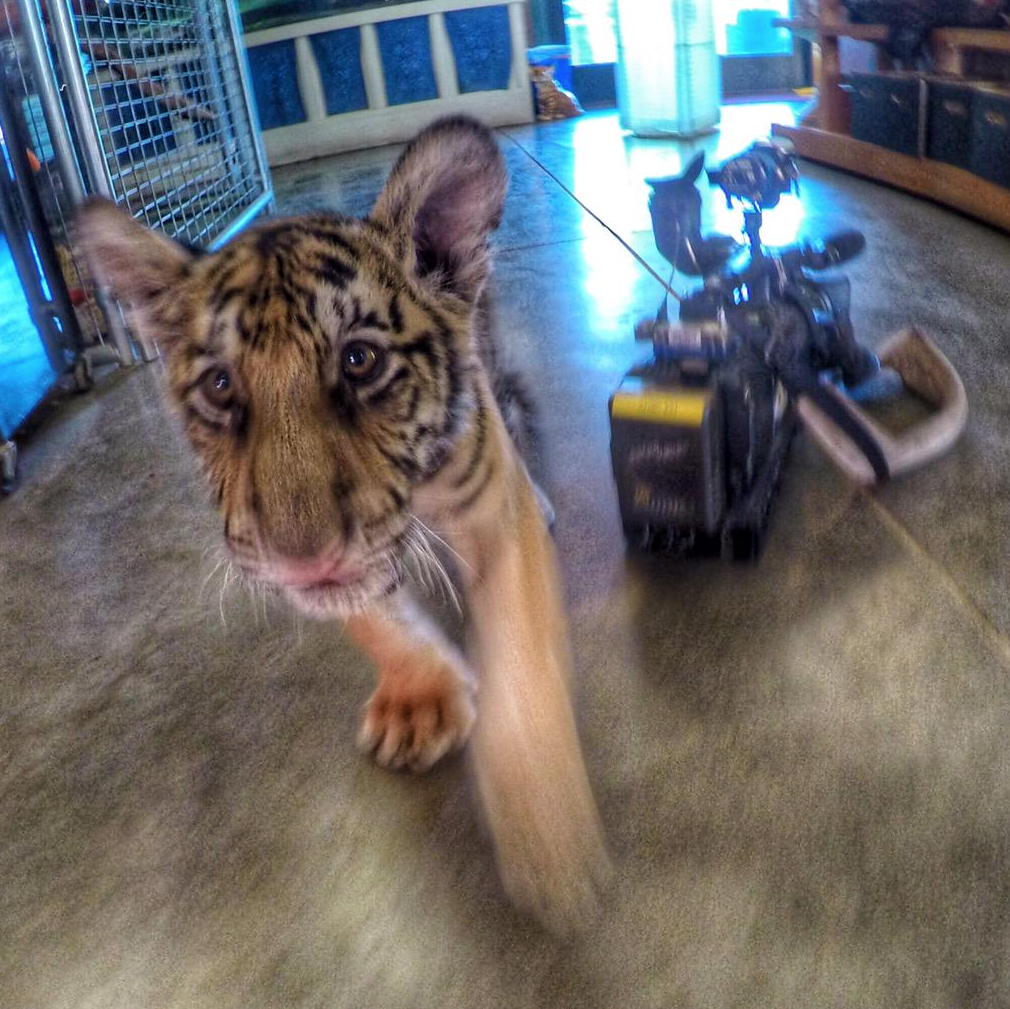 Bebe-Tigre-Abandon-Degriffe-Californie-2