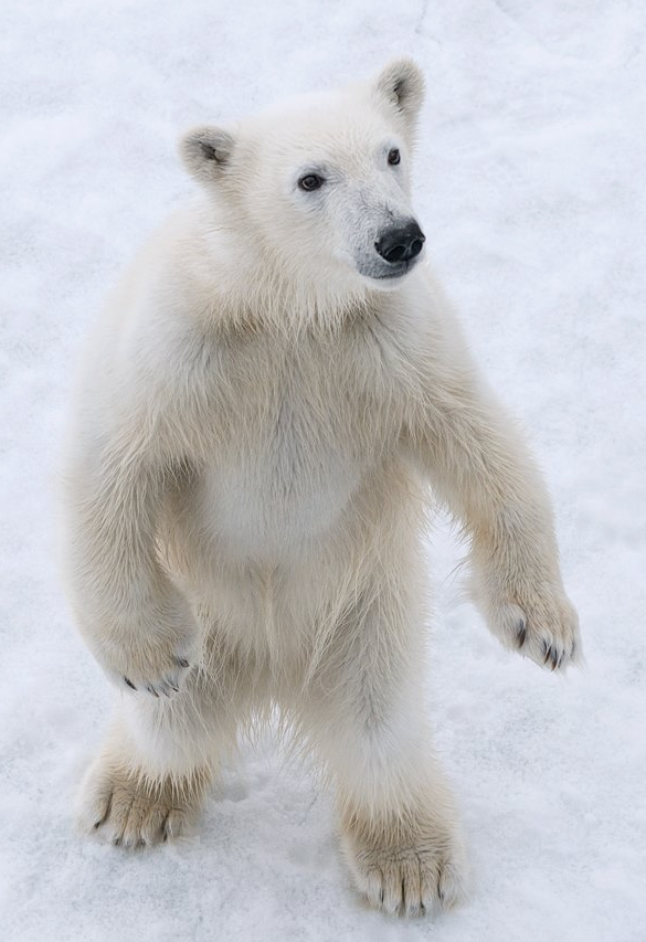 Ours-Polaire-Svalbard-1