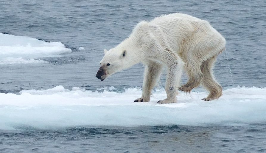 Ours-Polaire-Svalbard