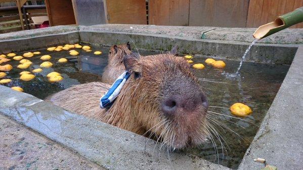 Capybara-Yuzu-Onsen-Citrons-Japon-11