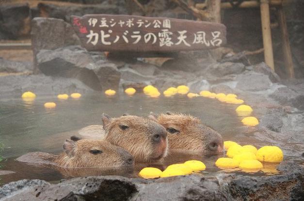 Capybara-Yuzu-Onsen-Citrons-Japon-2