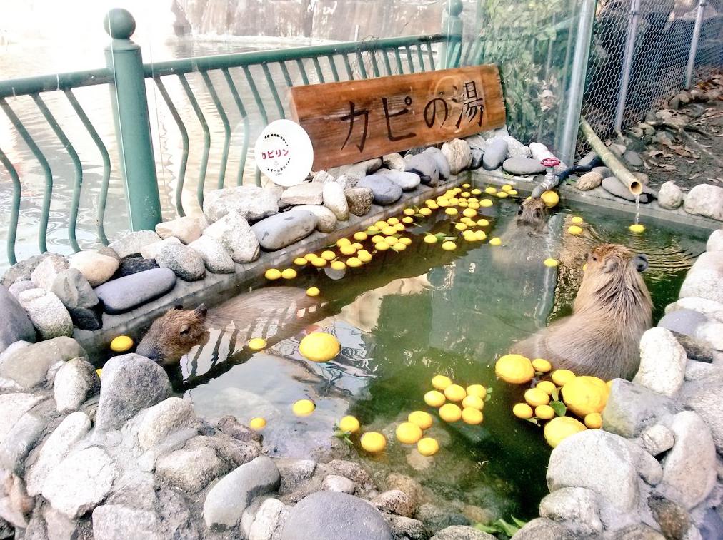 Capybara-Yuzu-Onsen-Citrons-Japon-3