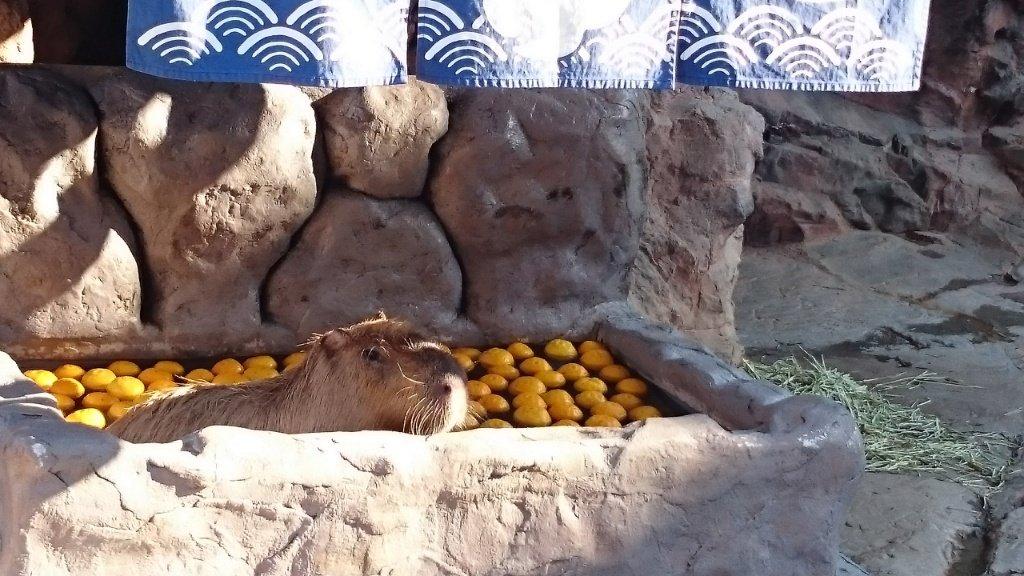 Capybara-Yuzu-Onsen-Citrons-Japon-5