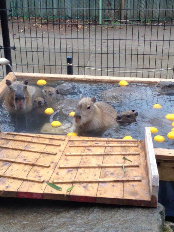 Capybara-Yuzu-Onsen-Citrons-Japon-6