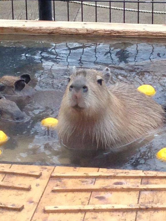 Capybara-Yuzu-Onsen-Citrons-Japon-7