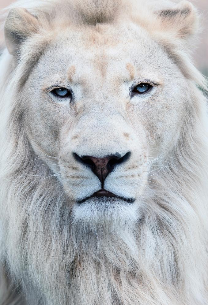Canada-Lion-Blanc-Tue-2-Bis