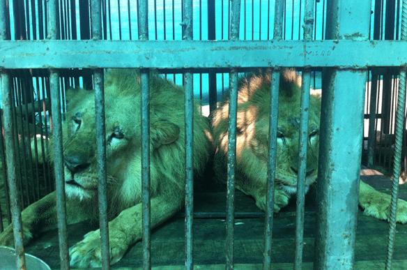 33-Lions-Liberes-1