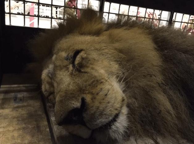 33-Lions-Liberes-3-Bis