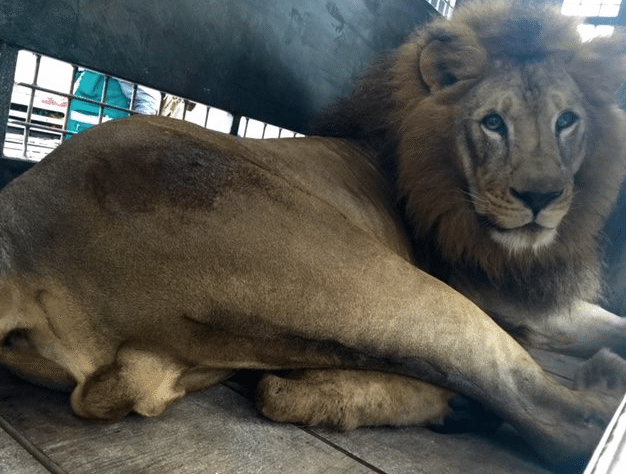 33-Lions-Liberes-7