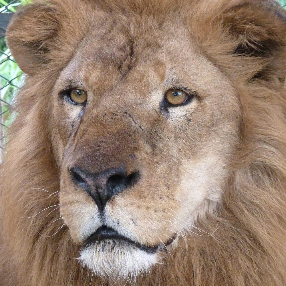 33-Lions-Liberes-Iron