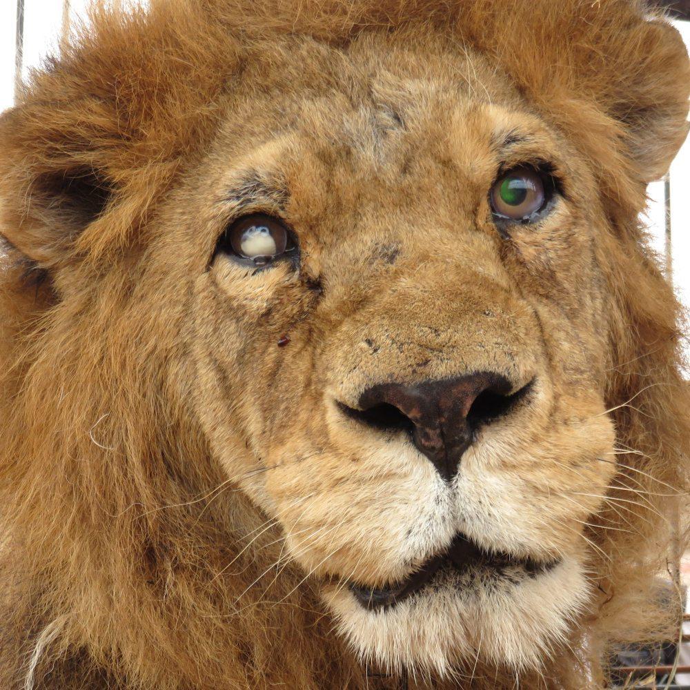 33-Lions-Liberes-Joseph