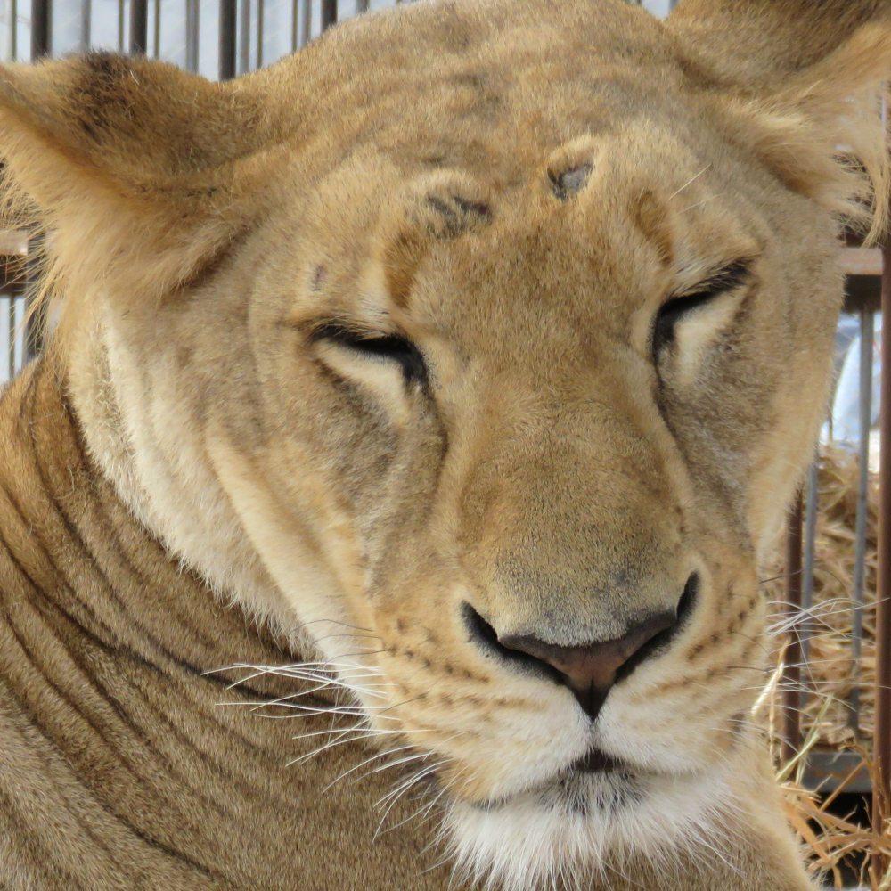 33-Lions-Liberes-Kala