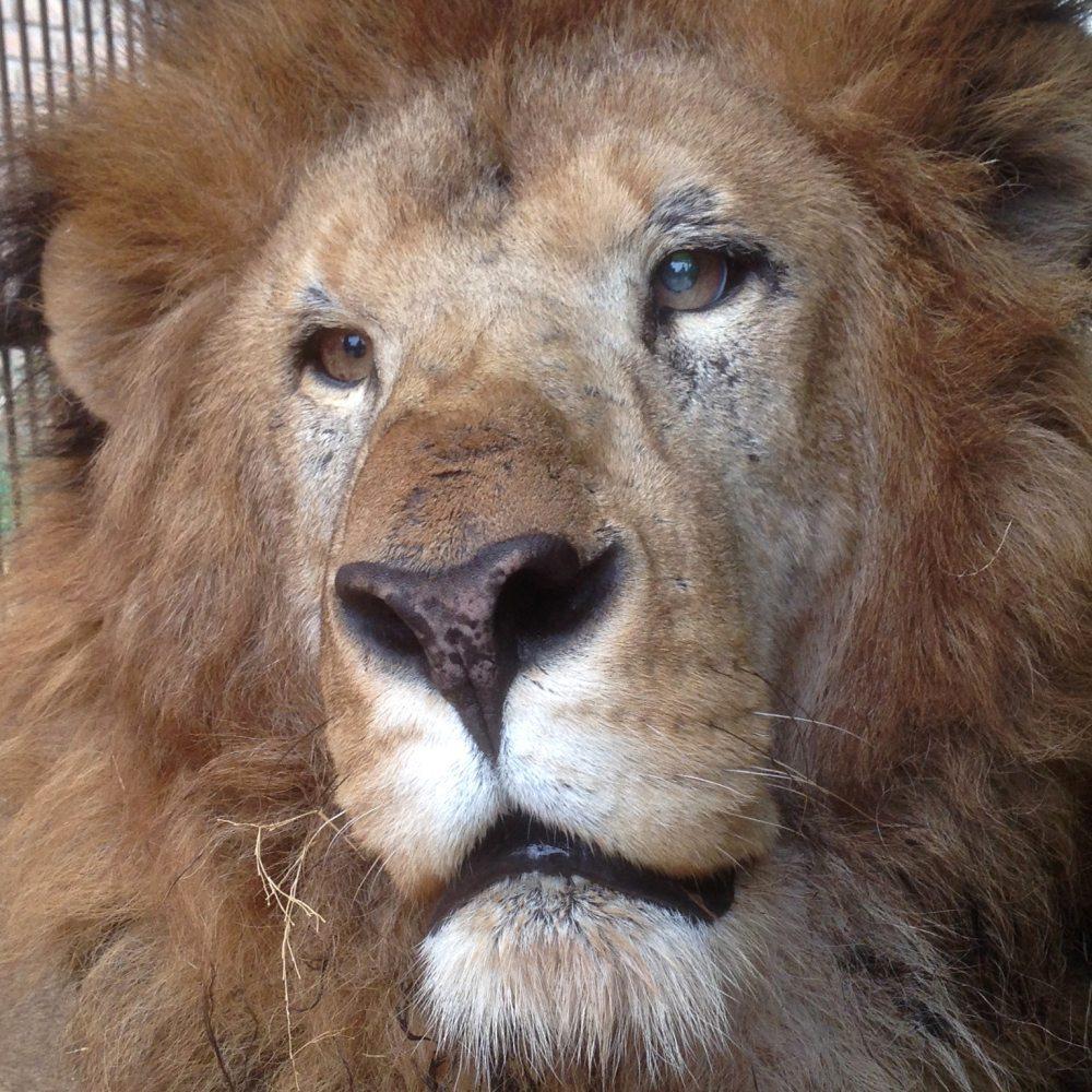 33-Lions-Liberes-Leo