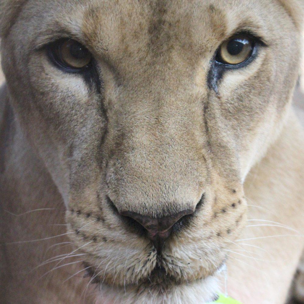 33-Lions-Liberes-Muneca