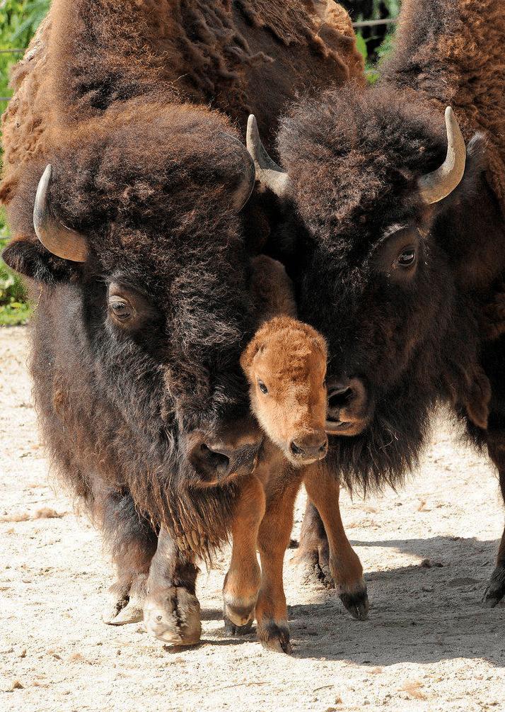 Bison-Bebe-Euthanasie-Yellowstone-2