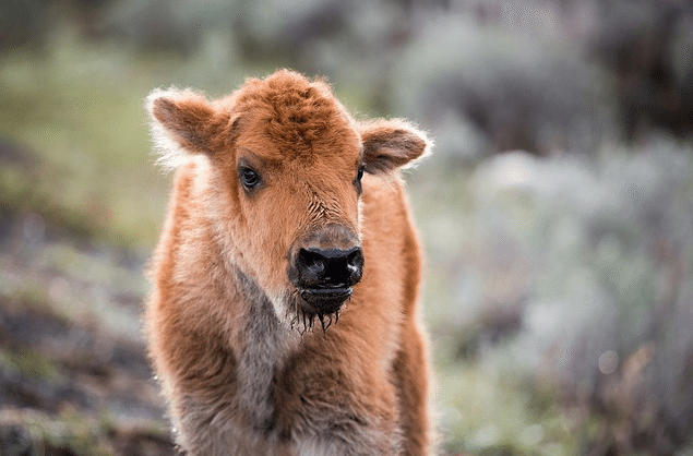 Bison-Bebe-Euthanasie-Yellowstone-3