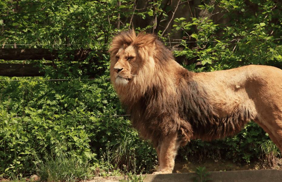 Chili-Lions-Suicide-3