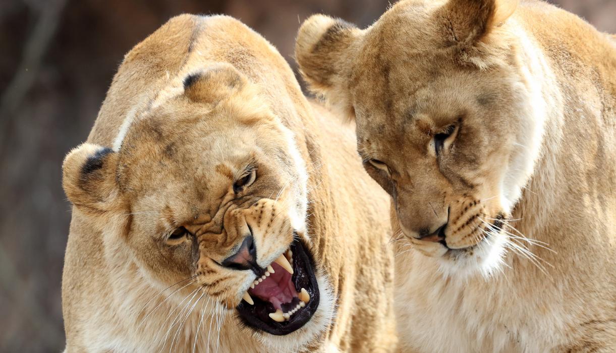 Chili-Lions-Suicide-4