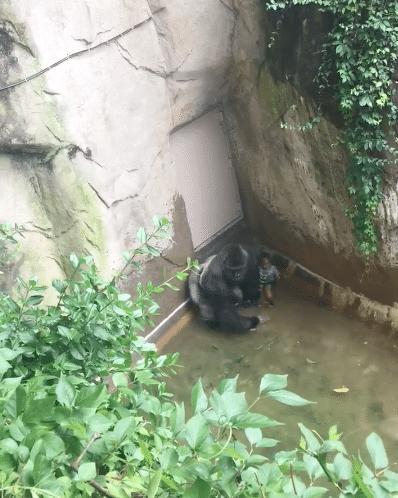 Gorille-Zoo-Cincinnati-Abattu-1