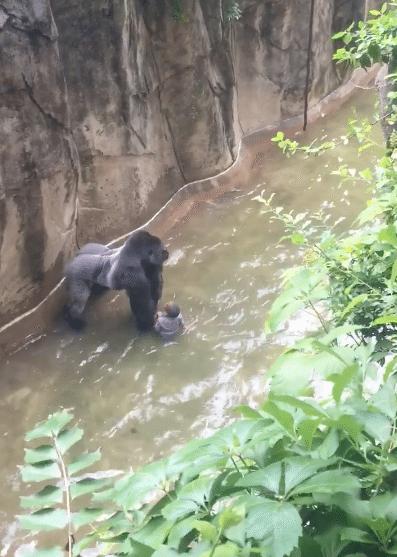 Gorille-Zoo-Cincinnati-Abattu-4