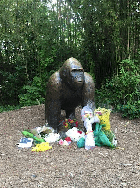 Gorille-Zoo-Cincinnati-Abattu-5