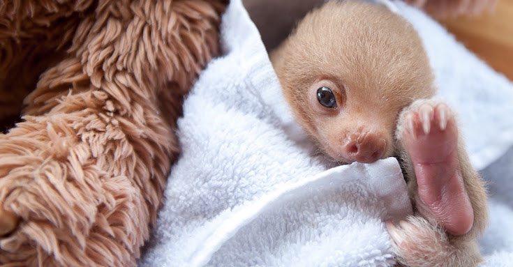 Sloth-Institute-Paresseux-1