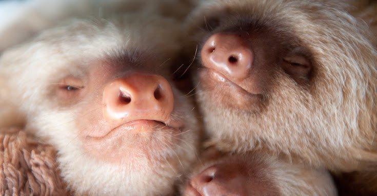 Sloth-Institute-Paresseux-2