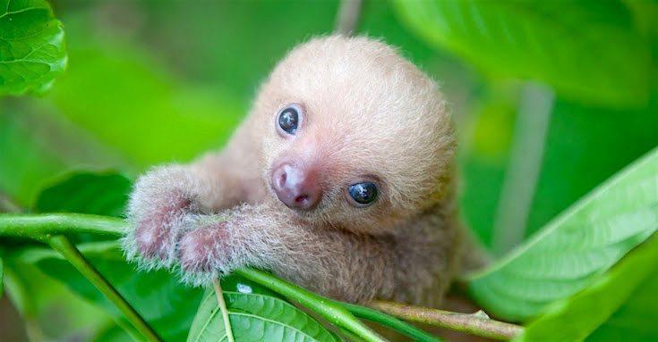 Sloth-Institute-Paresseux
