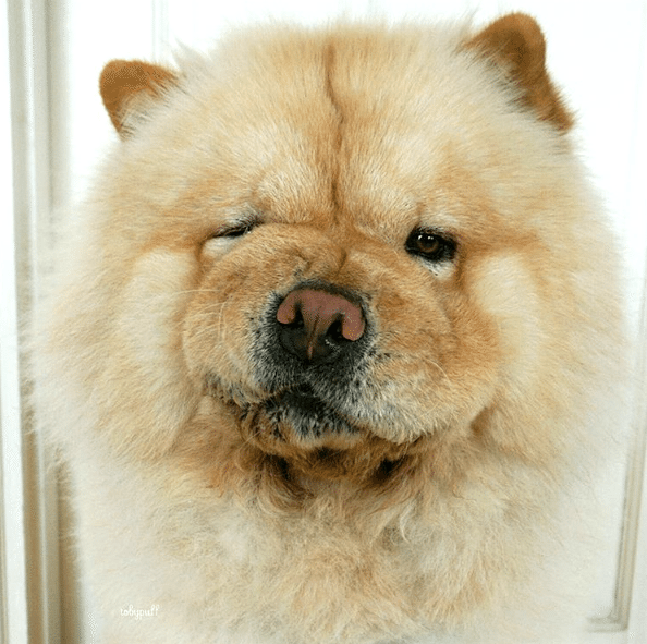 Tobypuff-Chow-Chow-1