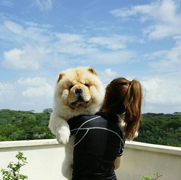 Tobypuff-Chow-Chow-12