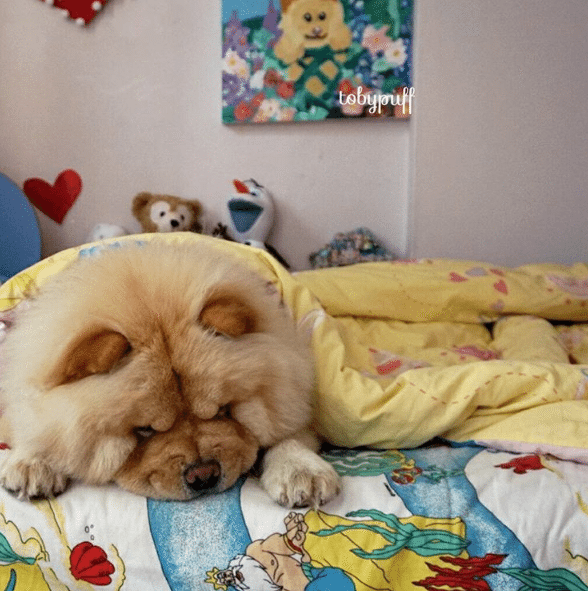 Tobypuff-Chow-Chow-3